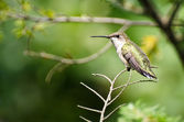 Ruby-Throated Hummingbird Perched in a Tree — Zdjęcie stockowe