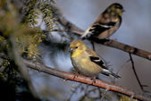 Pair of American Goldfinch Perched in a Tree — Stock Photo