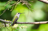 Ruby-Throated Hummingbird Perched in a Tree — Stock Photo