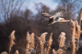 Red-Tailed Hawk Diving On Prey — Stock Photo
