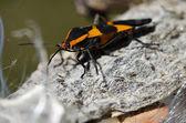 Milkweed Bug Resting on a Milkweed Pod — Stok fotoğraf