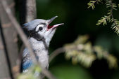 Immature Blue Jay Singing in Tree — Stock fotografie