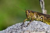 Kobylka na druh rostliny pod — Stock fotografie