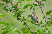 Sparrow Eating Insect in Berry Bush — Foto Stock