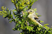 Female Goldfinch Perched in a Cedar Tree — ストック写真