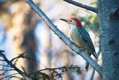 Red-Bellied Woodpecker Perched in Tree — Stock Photo
