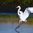 Great Egrets Landing in Shallow Water — Stock Photo #37989569