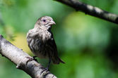House Finch with Avian Conjunctivitis Disease — Stock Photo