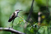 Hummingbird Sticking Its Tongue Out — Foto Stock
