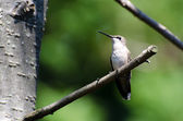 Ruby-Throated Hummingbird Perched in a Tree — Stok fotoğraf