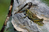 Grasshopper Resting on Milkweed Pod — Stock Photo