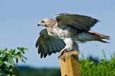 Red-Tailed Hawk Taking to Flight — Stock Photo