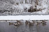 Гуси, отдыхая в реке после свежего снегопада — Стоковое фото