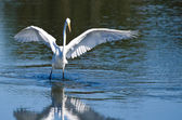 Great Egret Landing in Shallow Water — Stock Photo