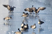 Canada Goose Landing on Frozen Lake — ストック写真