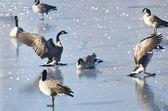 Canada Geese Landing on Frozen Lake — Stock Photo