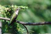 Colibrì gola rubino arroccato in un albero — Foto Stock