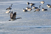 Canada Goose Taking Off From Frozen Lake — Stock Photo