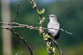 Northern Mockingbird Perched in a Tree — Stock Photo