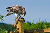 Red-Tailed Hawk Eating Captured Rabbit — Stock Photo