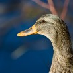 Female Mallard Duck Profile — Stock Photo