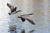 Canada Geese Taking to Flight from the Water — ストック写真