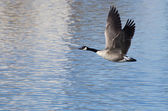 Canada Geese Taking to Flight from the Water — Photo