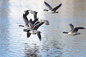 Canada Geese Taking to Flight from the Water — Stockfoto