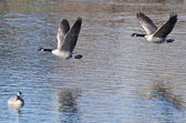 Canada Geese Taking to Flight from the Water — Foto Stock