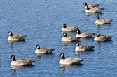Canada Geese Resting on the Water — Stock Photo