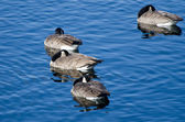 Canada Geese Sleeping on the — Foto Stock