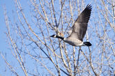Canada Goose Taking to Flight — ストック写真