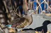 Female Wood Duck in Autumn — Stock Photo
