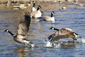 Canada Geese Taking to Flight from the Water — Stock fotografie