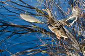 Female Mallard Duck Taking to Flight in Autumn — Stockfoto