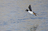 Common Goldeneye Taking to Flight from the Water — Stock Photo