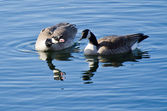 Squabbling Geese — Stock Photo