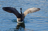 Canada Goose with Wings Outstretched — Foto de Stock