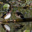 Stock Photo: Wood Duck Pair Perched on Fallen Limb