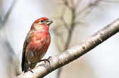 Male House Finch Perched on a Branch — Stockfoto