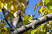 Female Wood Ducke Perched in Autumn Tree — Stockfoto