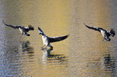Three Canada Geese Landing on Golden Water in Autumn — Stok fotoğraf