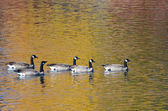 Five Canada Geese Swimming on Golden Water of Autumn — Stok fotoğraf