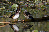 Wood Duck Pair Perched on Fallen Limb — Stock Photo