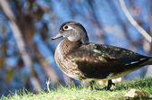 Female Wood Duck — Stock Photo