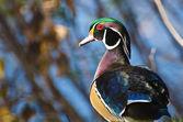 Male Wood Duck — Stockfoto