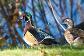 Pair of Wood Ducks on the Green Grass — Stock Photo