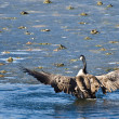 Stock Photo: CanadGoose Encountering Nasty Ice Flow