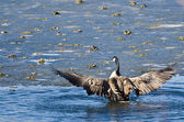 Canada Goose Encountering Nasty Ice Flow — Stock Photo