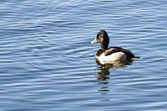 Ring-Necked Duck Swimming on a Lake — Stock Photo